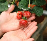 Strawberry on hands Stock Images