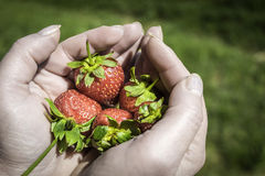 Strawberry  Hands Royalty Free Stock Image