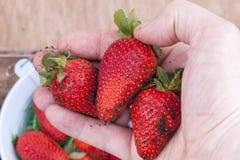 Strawberry harvest Stock Images