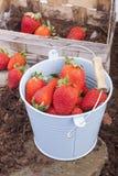 Strawberry harvest Stock Photo