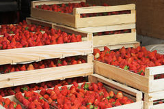 Strawberry harvest. Ready for transport Royalty Free Stock Photography