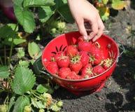 Strawberry harvest Stock Image