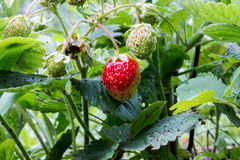 Strawberry harvest in the bush Royalty Free Stock Image