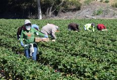Strawberry Harvest in Central California Royalty Free Stock Photos