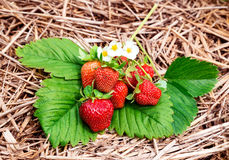 Strawberry harvest Stock Photo