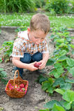 Strawberry harvest Royalty Free Stock Image