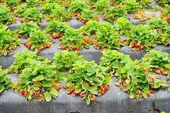 Strawberry harvest. In a modern farm in USA Stock Photo