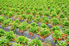 Strawberry harvest. In a modern farm in USA Stock Photos