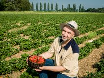Strawberry harvesting- man with a basket of strawberries. Man picking ripe srawberries on the strawberrry plantation on a sunny summer day Stock Photography