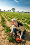 Strawberry harvesting- man with a basket of strawberries. Man picking ripe strawberries on the strawberrry plantation on a sunny summer day Stock Image