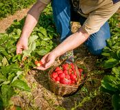 Strawberry harvesting- man with a basket of strawberries. Picking ripe strawberries on the strawberrry plantation on a sunny summer day Royalty Free Stock Photos