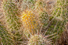 Strawberry Hedgehog Cacti of New Mexico. Strawberry hedgehog cactus of the Sonoran Desert in New Mexico royalty free stock photo