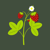 Strawberry. Illustration sprigs with strawberries on a dark green background Stock Photo