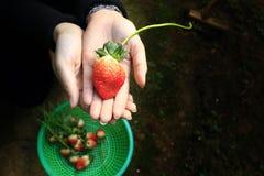 Strawberry invite. Strawberry. Shoot at Dalat, Viet Nam Royalty Free Stock Photo