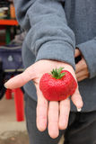 Strawberry jumbo size on the hand Stock Photography