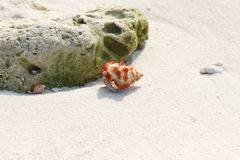 Strawberry Land Hermit Crab on a beach, Maldives Royalty Free Stock Photo