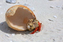 Strawberry land hermit crab. Royalty Free Stock Images