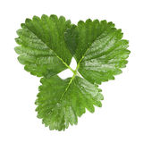Strawberry leaf Stock Photo