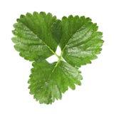 Strawberry leaf Stock Photo
