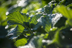 Strawberry leaf with dew and back light in the morning ,Thailand Stock Images