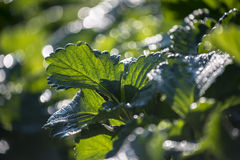 Strawberry leaf with dew and back light in the morning ,Thailand Royalty Free Stock Photography