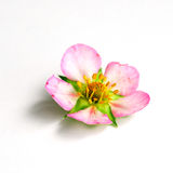 Strawberry leaf and flower Stock Photography