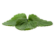Strawberry Leaf Stock Photography