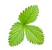 Strawberry leaf Stock Photos