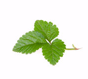 Strawberry leaf green Royalty Free Stock Photography