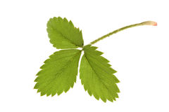 Strawberry leaf isolated Stock Images