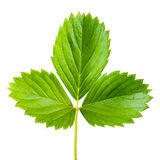 Strawberry leaf isolated Royalty Free Stock Images