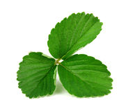 Strawberry leaf isolated on white background Royalty Free Stock Photos