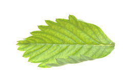 Strawberry leaf Stock Images