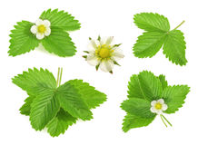 Strawberry leaf isolated on white background Stock Photography