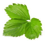 Strawberry leaf isolated on white Stock Image
