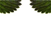 Strawberry leaf macro pattern   isolated on white background Royalty Free Stock Photo