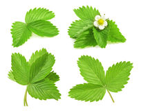 Free Strawberry Leaf On White Background Royalty Free Stock Photography - 55561787