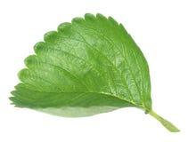 Strawberry leaf Royalty Free Stock Image