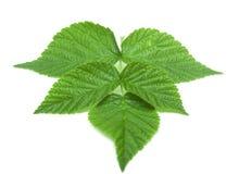 Strawberry leaf on white background Royalty Free Stock Photo