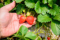 Strawberry with leafs Royalty Free Stock Image