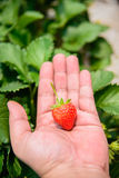 Strawberry with leafs Stock Images