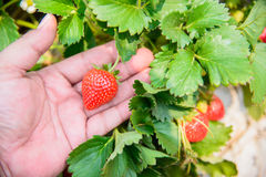Strawberry with leafs Royalty Free Stock Images