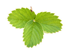 Strawberry leave Royalty Free Stock Photo