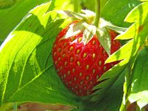 Strawberry in leaves Royalty Free Stock Images