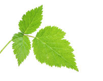Strawberry leaves. The green leaf of wild strawberry on a white background it is isolated stock photos