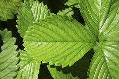 Strawberry leaves Stock Image