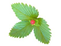 Strawberry leaves Stock Photography