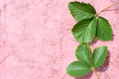 Strawberry leaves on an abstract pink background. Two trefoils with a shadow Royalty Free Stock Photography