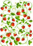 Strawberry leaves with berries Royalty Free Stock Photography