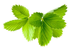 Strawberry leaves. Collection  on white Royalty Free Stock Image